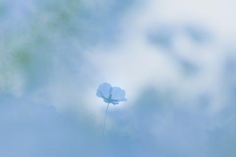 【花写真】Blue Magic